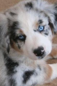 Austrailian Shepard  puppy:)