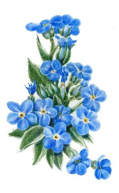 Forget Me Not Flower Drawings | Alpine Forget-me-not, colored pencil, Libby Kyer