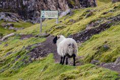 Sheep on trail, Trotternish, Isle of Skye, Inner Hebrides, Scotland by Kellie Netherwood Places To Travel, Places To See, Places Ive Been, Skye Scotland, Scotland Travel, Scotland Places To Visit, Scotland Destinations, Black Faced Sheep, Scottish Animals