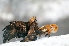 A Golden eagle hunting the Red fox