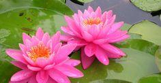 La Ninfea è una pianta acquatica erbacea della famiglia delle Ninfeacee. Il suo ambiente tipico è quello dove sono presenti acque stagnanti; è molto