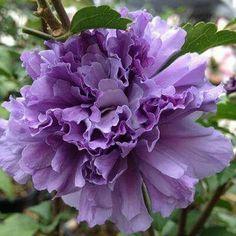 "Hibiscus ""Blueberry Smoothie"""