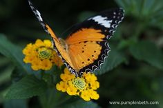 An Orange Lacewing Butterfly, also known by its scientific name of Cethosia penthesilea. This exotic butterfly originates from South East Asia and Australia's northern territory, but is pictured here, feeding on a Lantana flower, inside the Butterfly Dome, at the RHS Hampton Court Palace Flower Show 2017