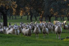 Las dehesas de la reserva de la biosfera de Monfragüe - Las curiosas ovejas de Ganatur se acercaron a saludarnos