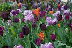 Tulips Rai, Queen of the Night and Curly Sue + Ballerina 2 Plant Design, Garden Design, Agapanthus, Spring Bulbs, Garden Images, Purple Flowers, Ballerina, Curly, Queen