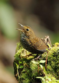 The Pygmy Wren-babbler or Pygmy Cupwing (Pnoepyga pusilla) is a species of bird in its own family, Pnoepygidae. It is found in Bangladesh, Bhutan, Cambodia, China, India, Indonesia, Laos, Malaysia, Myanmar, Nepal, Thailand, and Vietnam.  by chrisli023 on Flickr.