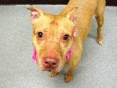 GONE --- TO BE DESTROYED - 12/07/14 Manhattan Center ***  My name is COH. My Animal ID # is A1022290. I am a spayed female brown and white pit bull mix. The shelter thinks I am about 6 YEARS old.  I came in the shelter as a OWNER SUR on 12/04/2014 from NY 10455, owner surrender reason stated was PERS PROB.  https://www.facebook.com/photo.php?fbid=917850234894523