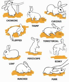 Believe it or not, rabbit care is not easy. Use this guide and learn to take care of your new bunny Mini Lop Bunnies, Pet Bunny Rabbits, Cute Baby Bunnies, Rabbit Toys, Pet Rabbit, Dwarf Rabbit, House Rabbit, Rabbit Facts, Bunny Supplies