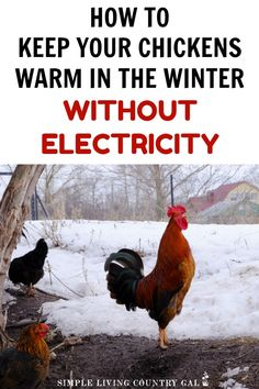 Think you need a heat lamp in your chicken coop in order to have chickens in a cold climate? Not even close! Even in 25 degree below zero wind chills have not harmed my hens all these years. Learn my tips on how to keep your chickens warm without electric Chicken Coup, Best Chicken Coop, Backyard Chicken Coops, Chicken Coop Plans, Building A Chicken Coop, Chicken Feed, Small Chicken Coops, Chicken Garden, Chicken Tractors