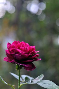 The rose ~ such a beauty.