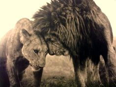 lions in love :) #lions #love