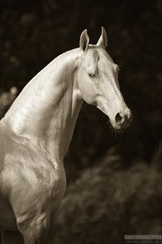Akhal-Teké - when you want to be outshined by your horse