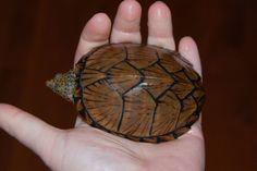 Razorback Musk Turtle Musk Turtle, Snakes, Turtles, Reptiles, Tattoos, Sweet, Animals, Image, Tortoises