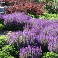 Salvia (Sage) are long blooming, easy care, rabbit and deer resistant perennials. These plants are essential garden perennials for feeding honey bees and are a favorite of hummingbirds.