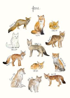 A chart featuring the Blanford's fox, Red fox, Fennec fox, Arctic fox. Animal Drawings, Art Drawings, Animal Art Prints, Animal Illustrations, Art Fox, Vogel Illustration, Fuchs Baby, Animals Tattoo, Animals And Pets