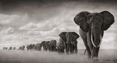 """Elephants walking through grass""  Photography by Nick Brandt"