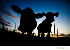 Erinn's Cows. NOT only a fantastic photograph..the photographer has fantastic photos all around!