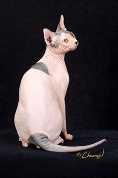 RW SGCA Godz Gideon of Smoothies--Gator is TICA's top #Sphynx Alter