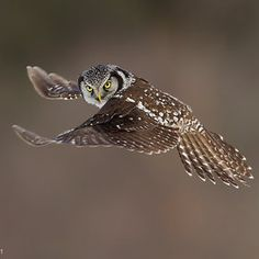 """Northern Hawk Owl"" ~ Photography by Axel Hildebrandt"