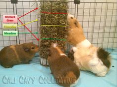 Cali Cavy Collective: a blog about all things guinea pig: diet/nutrition