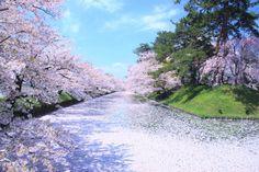 532:「薄ピンク色の花筏がお濠全面に広がり まるで絨毯であるかの様に見えました。」@弘前公園