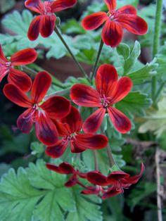 Geranium 'P. Ardens' Pelargonium