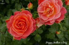 Happy #MothersDay weekend from all of us at the Easy Elegance Rose Collection. (Photo Credit: Coral Cove Rose) #rose #gardening
