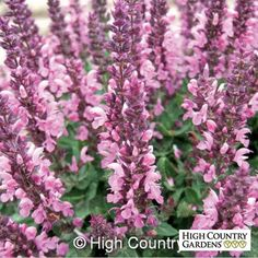 Salvia nemorosa Sensation Rose blooms in late spring with short spikes of rose-pink flowers. Like all the nemerosa types, it is extremely cold hardy, vigorous and a lover of clay soils. Rabbit and deer resistant too. Sun Garden, Garden Plants, Water Plants, Flowering Plants, Fruit Garden, Vegetable Garden, Meadow Sage, High Country Gardens, Plant Covers