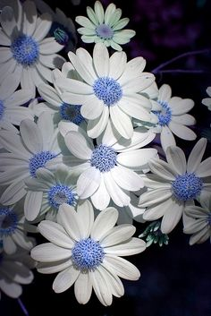 daisies with blue center