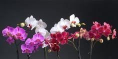 orchideen arten bedeutung orchideen orchidee bedeutung