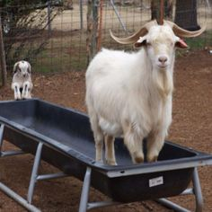 """Ware3 Farms of Dardanelle, AR. """"Like father, like son!"""". Our sire, Miakoda (""""Willy"""") with buckling."""