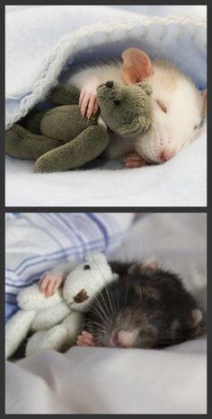 Rats with teddies!