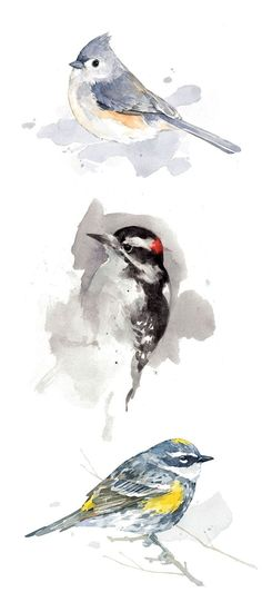 Bird watercolor art prints by david scheirer. Tufted Titmouse, Downy Woodpecker, Yellow-rumped Warbler.