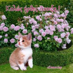 Εικόνες για καλωσόρισμα της Άνοιξης - eikones top Beautiful Pink Roses, Cats, Animals, Gatos, Animales, Animaux, Animal, Cat, Animais