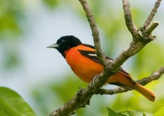 Climate Change Will Endanger Hundreds of America's Bird Species - A Baltimore oriole. (Photo: Kelly Colgan Azar/Flickr CC 2.0)  By 2080, the Baltimore oriole may no longer spend warmer months in Baltimore and the tundra swan may lose much of its summer habitat in North America. Minnesota's state bird, the common loon, may no longer have a nesting ground in the continental US, and the bald eagle, America's national emblem, will find its home creeping gradually northward toward Canada.