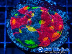 A more recent and colorful example of rainbow echinophyllia chalice coral from World Wide Corals