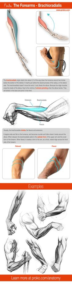 Information on the Forearms Brachioradialis. You can find more info on drawing the forearms at proko.com/anatomy.