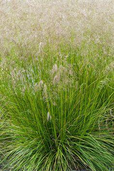 110703-088-Deschampsia-caespitosa-Bronze-Veil.jpg 500×750 pixels