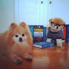 boo et buddy deux chiens mignons peluches vivantes 10   Boo et Buddy   web star spitz pomeranien photo peluche nain loulou de Pomeranie imag...