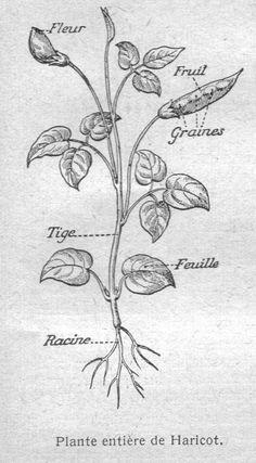 Dessins botanique : Image (26) - Plante entiere de haricot.jpg