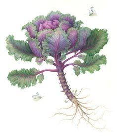 ornamental kale = Karen Kluglein