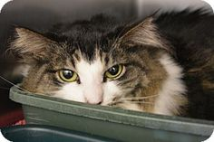 Domestic Longhair Cat for adoption in Bay Shore, New York - PeeGee