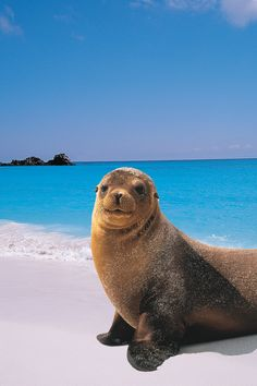 Cute little sea lion in the Galapagos. Now this is the type of encounter we like to have on a Galapagos dive trip!