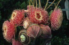 Eucalyptus youngiana