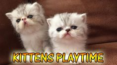 Fluffy Kittens Playtime | VERY CUTE