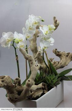 Pretty white phalaenopsis orchids and driftwood Hübsche weiße Phalaenopsis Orchideen und Treibholz