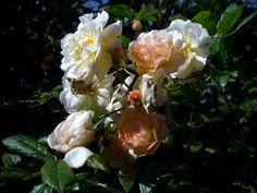 GHISLAINE DE FELIGONDE Denne så dagens lys i Frankrike i 1916. Det skal være en hybrid av Rosa Multiflora (se nedenfor), men grupperes også ofte som moskusrosehybrid. Hvorom allting er, er dette ei utmerket rose på alle måter. Det er ei buskrose, men kan under gode forhold mot en vegg bli klatrerose. Denne ter  seg også slik jeg vil at roseplantene skal gjøre. Hun har en litt overhengende vekst og skyter stadig nye skudd fra grunnen. Hos meg er hun ca. halvannen meter høy. Hun har aldri hatt…