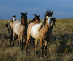 Spanish Mustangs by Sierra Perkins at the Little Cayuse Ranch