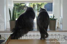 Möchte mal wissen, wer dieses Gerücht in die Welt gesetzt hat, Katzen wären neugierig. So ein SCHWACHSINN!  #schatznasen #katzen #katzenblog
