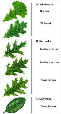 Tree Identification by Leaf Shape | Figure 2. The three main groups of oaks are organized by leaf shape.~ Oak tree leaves for identification